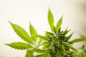 Jak wygląda marihuana lecznicza?